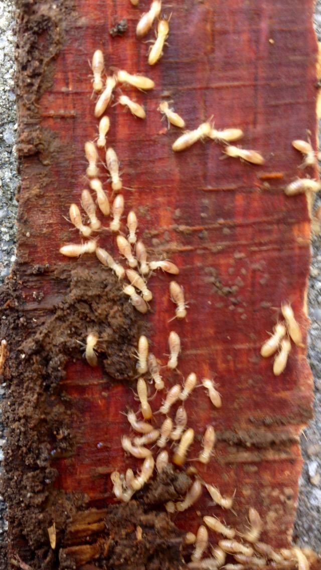 there are several different type of termites in the u s but there are two that have been seen in alabama the eastern subterranean termite are slower